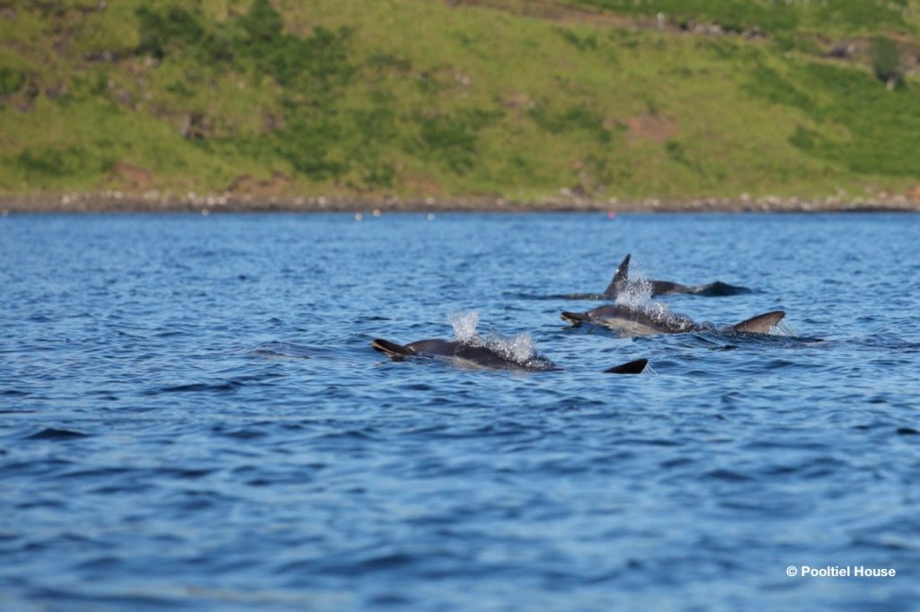 Dolphins in Loch Pooltiel